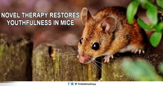Novel therapy restores youthfulness in mice