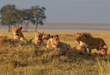 Coronavirus in Lion: 8 lion corona positive in this zoo of Hyderabad